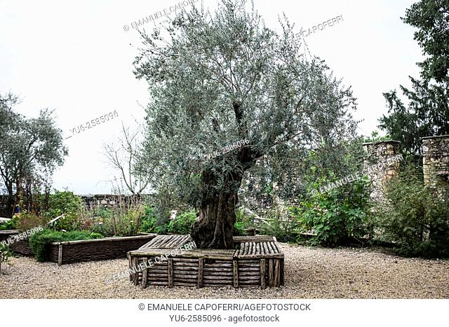 Olive tree in the garden of a medieval castle, Angera, Italy