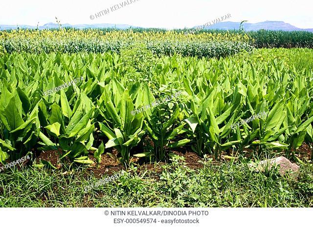 Turmeric crops with jawar and sugarcane , Satara , Maharashtra , India