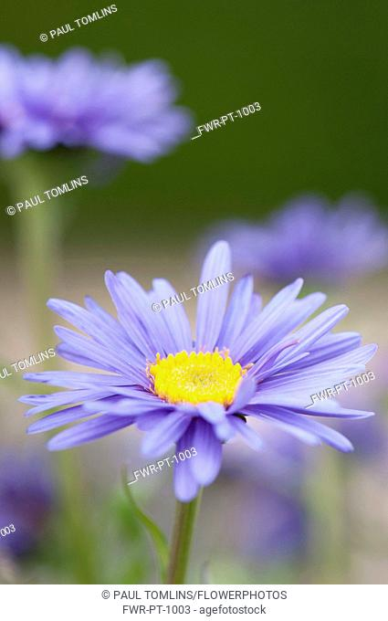 Blue alpine daisy, Aster alpinus, close up of single flower with others blurred behind