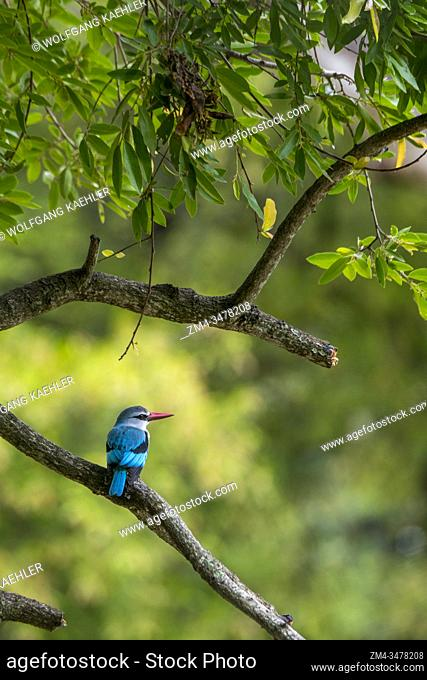 A Woodland Kingfisher (Halcyon senegalensis) perched in a tree in the Manyeleti Reserve in the Kruger Private Reserves area in the Northeast of South Africa