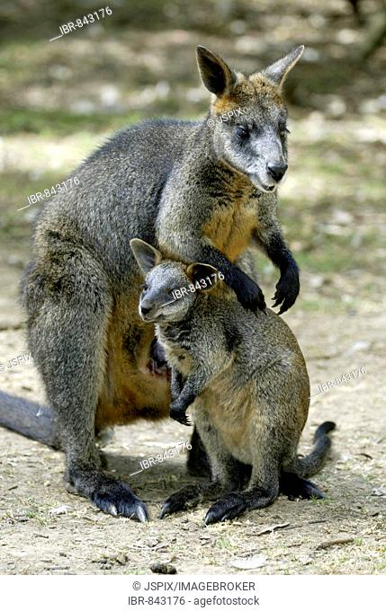 Swamp Wallaby (Wallabia bicolor), adult, female, with young animal, Australia