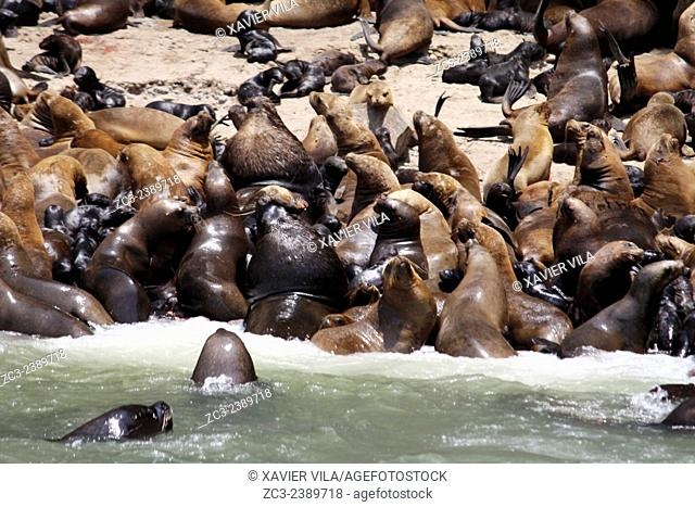 Sea Leon colony, Otaria Flavescens, in the Paracas National Reserve and the Ballestas Islands. This is a protected area in the province of Pisco in Peru since...