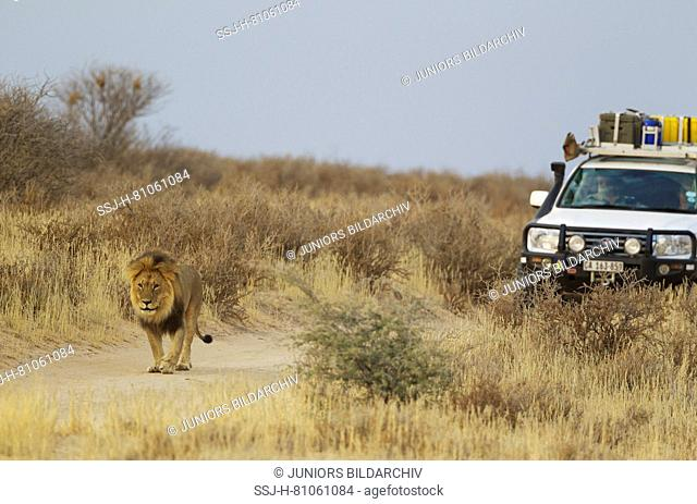 Lion (Panthera leo). Black-maned Kalahari male and tourist vehicle. For more comfort, lions much prefer to walk on the road than in the thorny bush