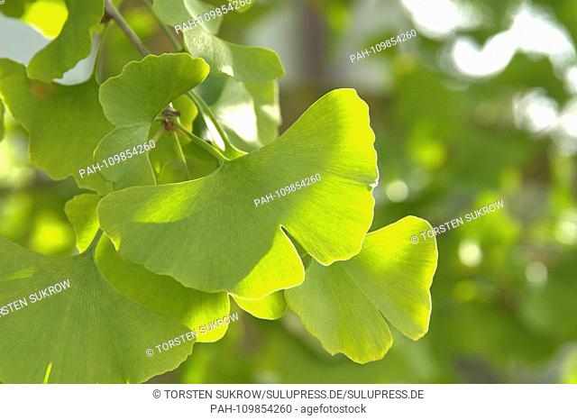 Close-up of some ginkgo blatters at a ginkgo tree in Schleswig. Shooting in fine weather and sunshine in autumn 2018. Class: Ginkgo Plants (Ginkgoopsida)