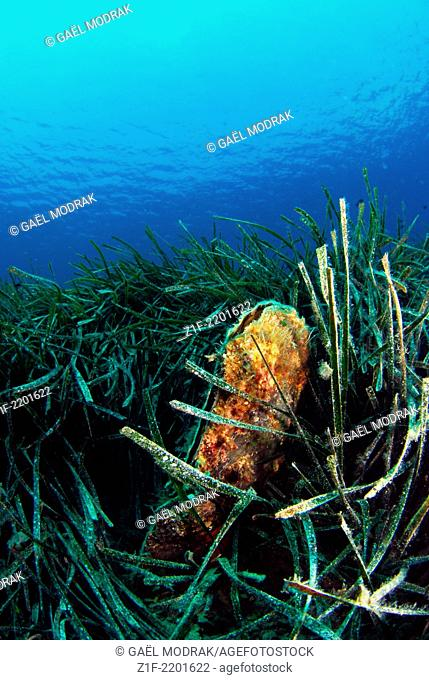 Fan mussel living among Neptune grass in Corsica, France. A protected species. Pinna nobilis