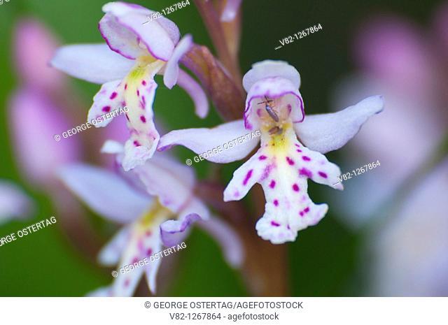 Orchid, Yoho National Park, British Columbia, Canada