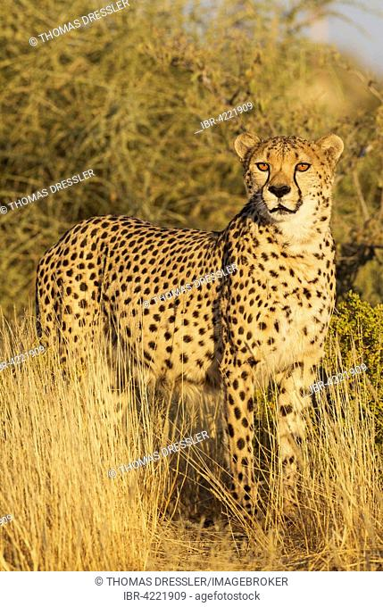 Cheetah (Acinonyx jubatus), male, standing in high grass, captive, Namibia
