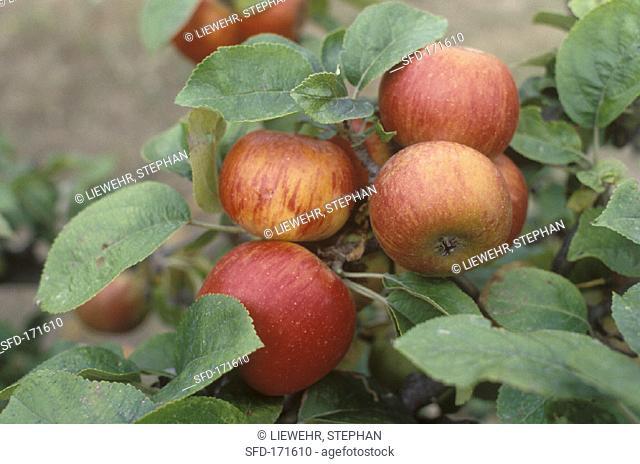Cox's Orange Pippins on the tree