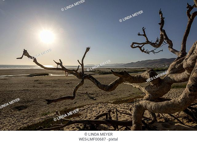 USA, California, dead tree on Pismo Beach at sunset