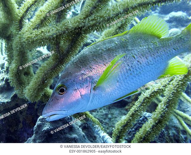 Schoolmaster fish in the Caribbean sea around Bonaire
