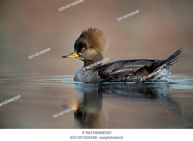 A female Hooded Merganser floats on a calm pond in the soft afternoon sunlight with a smooth brown background