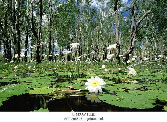 SACRED LOTUS (Nelumbo nucifera),  IN BLOOM ON BILLABONG DURING WET SEASON,  KAKADU NATIONAL PARK, NORTHERN TERRITORY,  AUSTRALIA