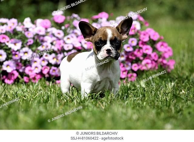 French Bulldog. Puppy (6 weeks old) standing in front of flowering Petunias. Germany