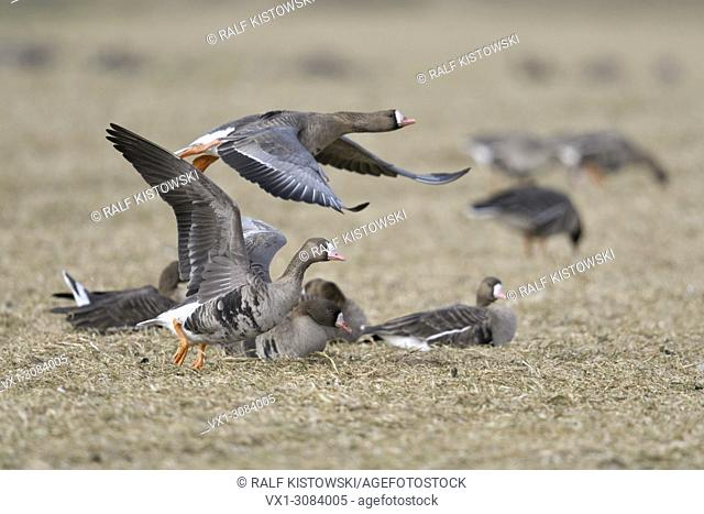 White-fronted Geese ( Anser albifrons ), taking off from a stubble field with feeding and resting geese in background, wildlife, Europe
