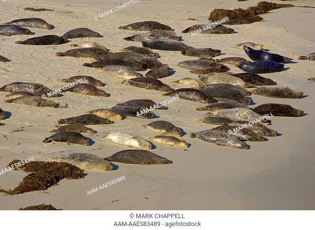 Eastern Pacific Harbor Seals (Phoca vitulina richardii) San Diego, California, USA