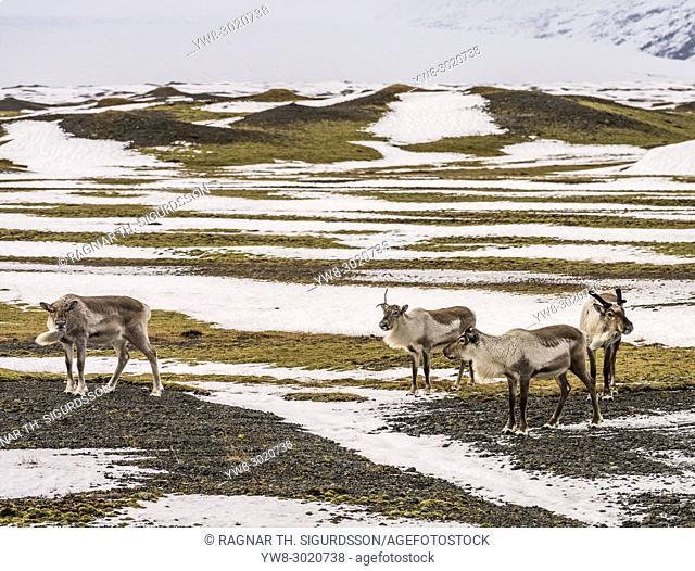 Herd of Reindeer grazing, South Coast, Iceland