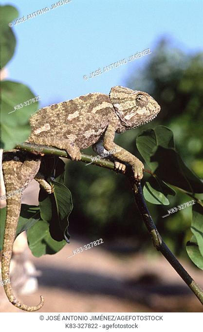 Chameleon. Axarquía mountains, Málaga province, Spain