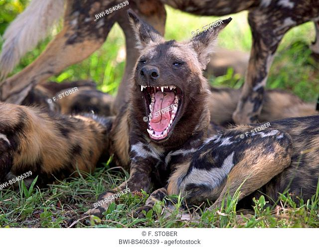 African wild dog, African hunting dog, Cape hunting dog, Painted dog, Painted wolf, Painted hunting dog, Spotted dog, Ornate wolf (Lycaon pictus), resting pack