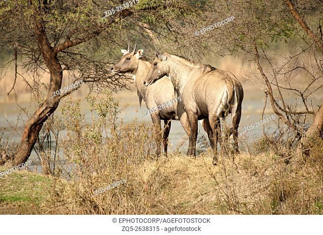 The nilgai or blue bull (Boselaphus tragocamelus), India