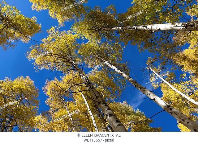 Looking up at tops of aspen trees with yellow leaves in autumn in Rocky Mountains of Colorado
