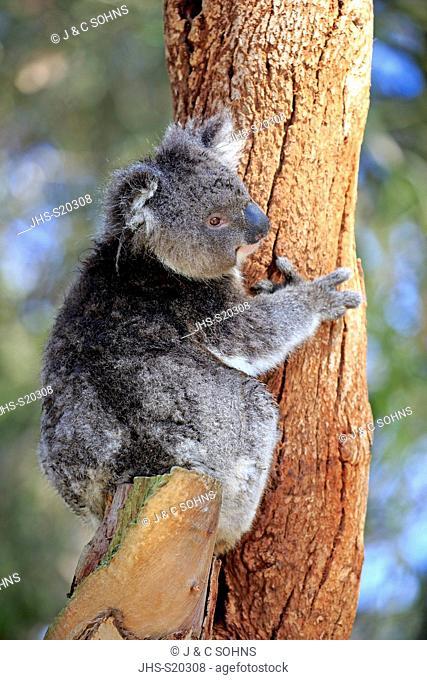 Koala, (Phascolarctos cinereus), adult on tree, Kangaroo Island, South Australia, Australia