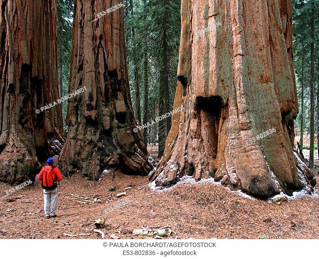 Hiker looking at 'The House' group of giant sequoias, Congress Trail, Giant Forest area of Sequoia National Park, California, USA