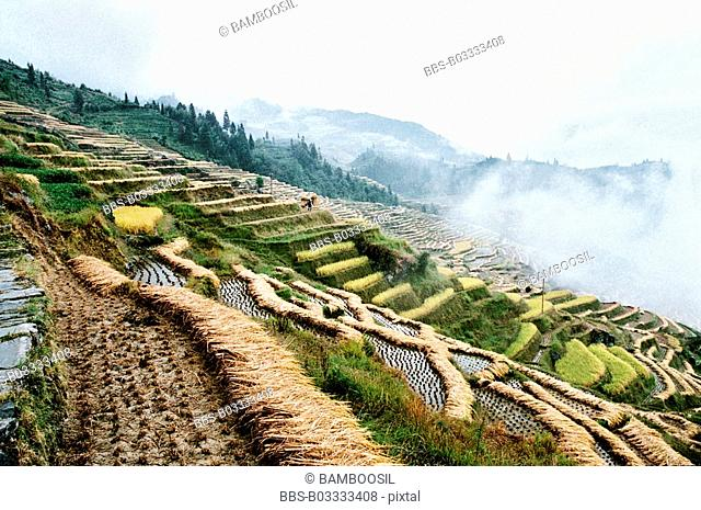 The autumn harvest of terraced rice fields in Longji, Longsheng County, Guilin City, Guangxi Zhuang Nationality Autonomous Region of People's Republic of China