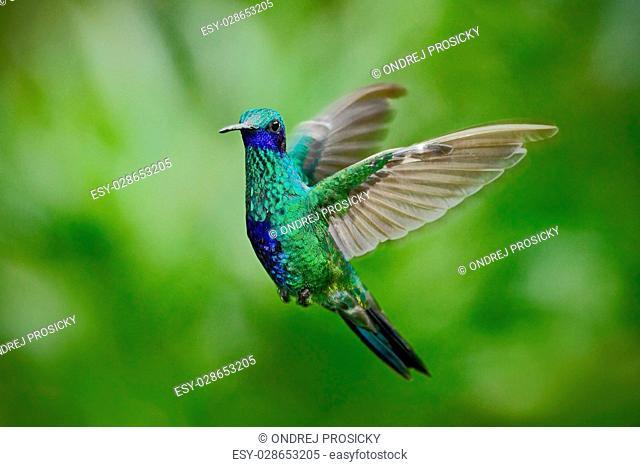 Green Violet-ear, Colibri thalassinus, green hummingbird