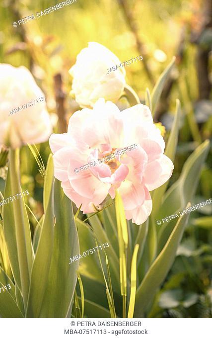 Blossom, tulip, pink, filled