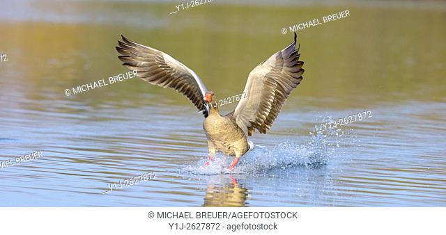 Landing Greylag goose (Anser anser), Hesse, Germany, Europe