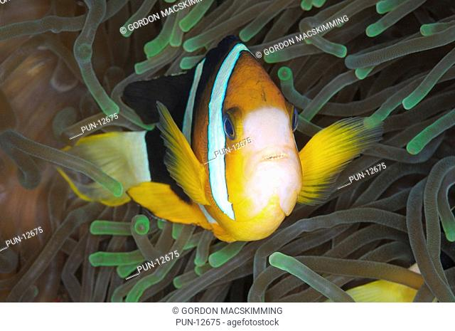 Clark's anemonefish Amphiprion clarkii is a common member of a group of fishes often referred to as clownfish Here the host anemone is the leathery sea anemone...