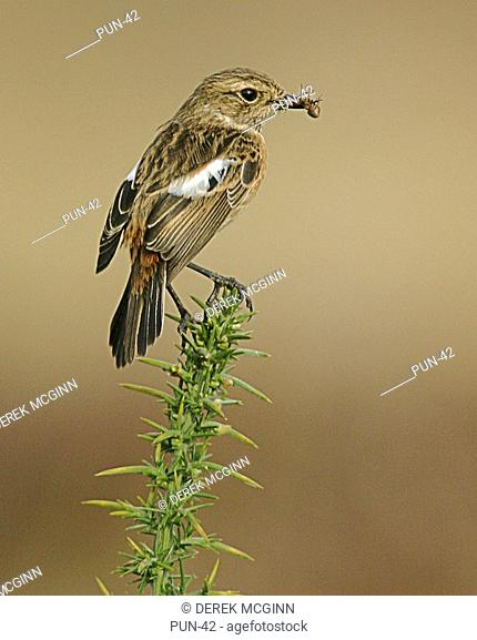 Female Stonechat, Saxicola torquata, in spring with prey Inverness-shire, Scotland