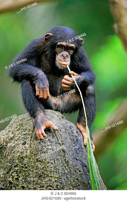 Chimpanzee, (Pan troglodytes troglodytes), young feeding using tool, Africa