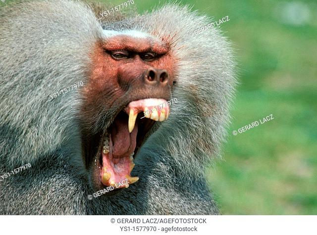 Hamadryas Baboon, papio hamadryas, Male with Open Mouth, Defensive Posture