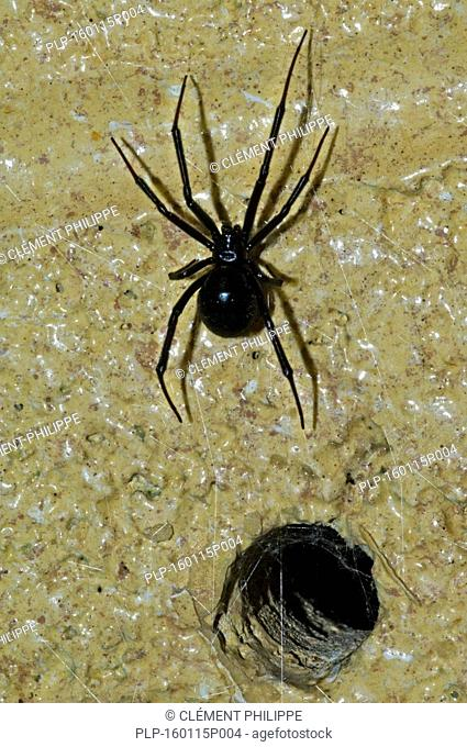 Western black widow spider / western widow (Latrodectus hesperus) female leaving burrow in wall, native to western North America