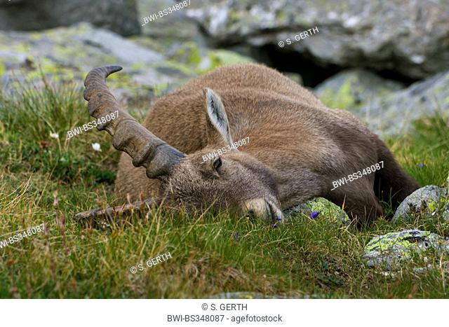 alpine ibex (Capra ibex, Capra ibex ibex), sleeping in alpine meadow, Switzerland, Valais, Saas Fee