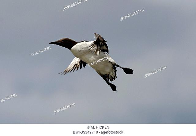 common guillemot (Uria aalge), in flight, United Kingdom, England, Northumberland, Farne Islands