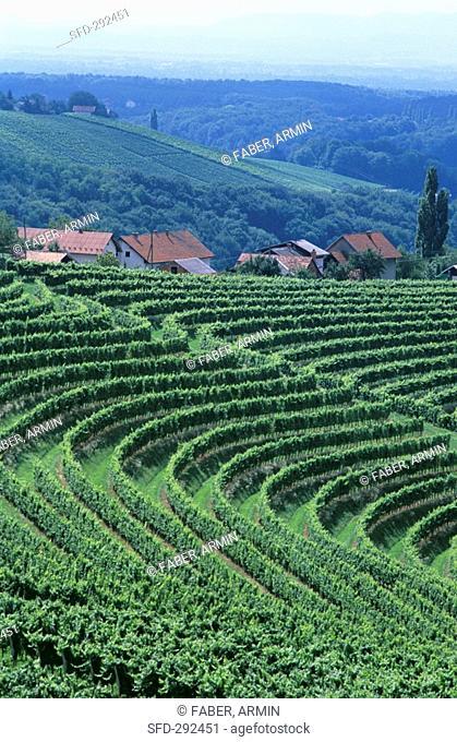 Vineyards near Ormoz, Slovenia