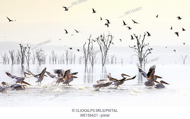 Pelicans in Lake Nakuru, Rift Valley