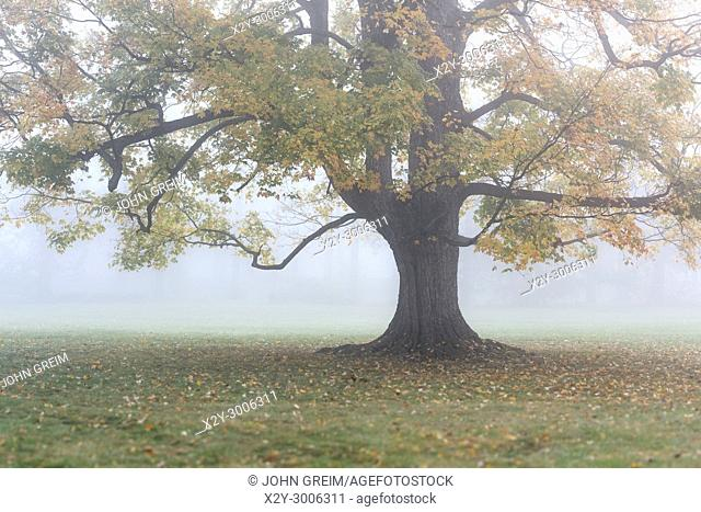 Soft morning mist envelops a lone autumn tree, New York, USA