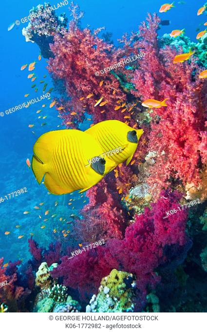 Golden butterflyfish Chaetodon semilarvatus swimming over coral reef with soft corals  Egypt, Red Sea, Gulf of Aden  Endemic
