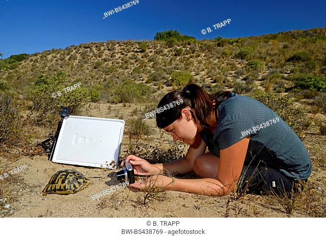 Tunisian spur-thighed tortoise (Testudo nabeulensis, Testudo graeca nabeulensis ), young woman taking picture of a tortoise in the dunes of Sardinia, Italy