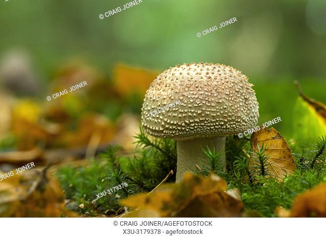 An immature Blusher (Amanita rubescens) mushroom in the leaf litter and moss of Beacon Hill Wood in the Mendip Hills, Somerset, England