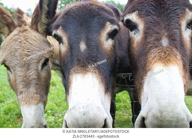 Funny image of a close-up group of three curious donkeys staring in camera shooting