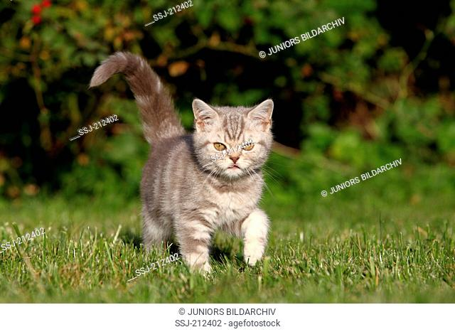 British Shorthair. Tabby kitten (8 weeks old) walking on a lawn. Germany