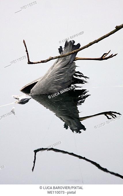 Ardea cinerea - A dead gray heron