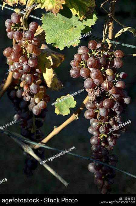 Local varieties of grapes in the renowned Shumi winery in the Kakheti wine region in Georgia, one of the oldest wine producers in the world