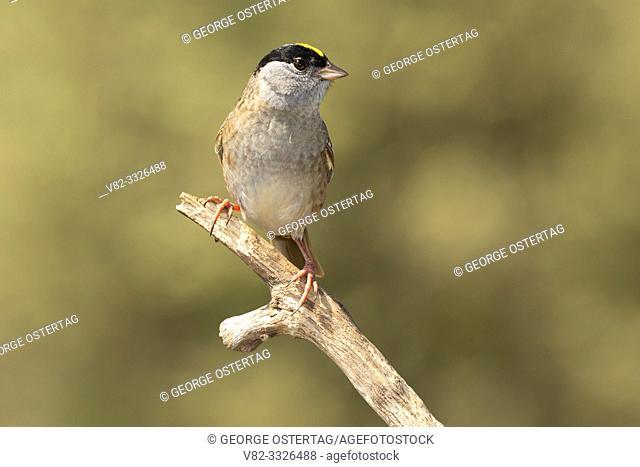 Golden-crowned sparrow (Zonotrichia atricapilla), William Finley National Wildlife Refuge, Oregon