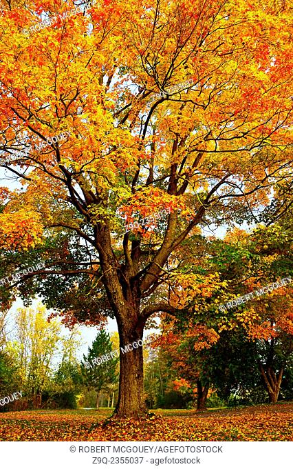 A vertical image of a large maple tree turning the bright bold colors of an eastern Canadian fall