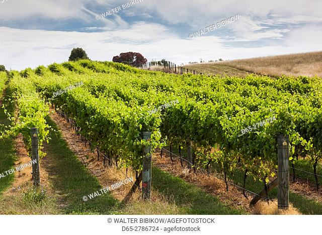 New Zealand, North Island, Hawkes Bay, Te Awanga, vineyard